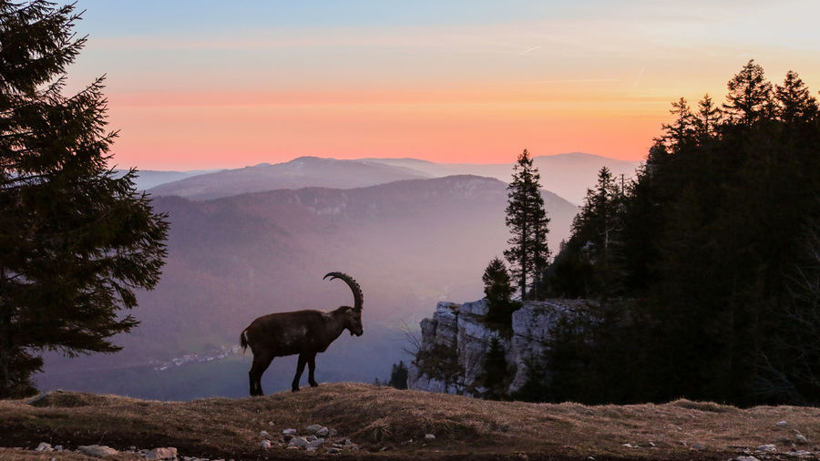 Silhouette mountain goat standing against sky during sunset