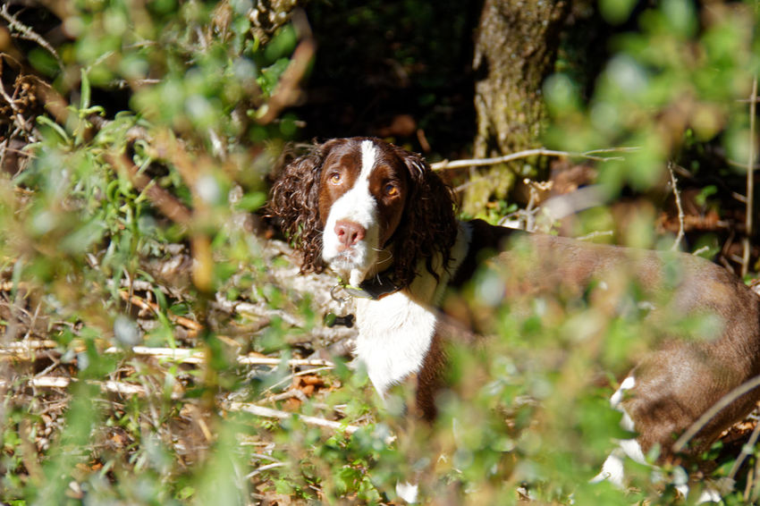 Dash Dogs Dogs Of EyeEm English Springer Spaniel Domestic Animals Love Dog My Dog Pet Portraits