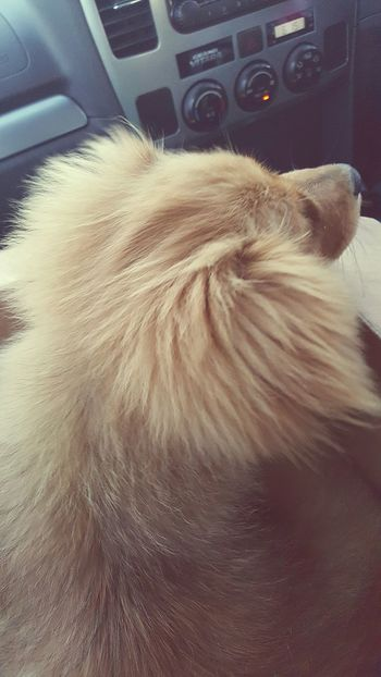 Animal Hair Pets Domestic Animals Animal Themes Close-up Fur Furry Dog Car Interior Car Furry And Fluffy Furry Animal Rear Veiw Dog Ear Dog Snout Cute