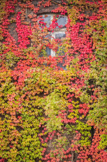 Red ivy on house with white window Plant Flower Flowering Plant Beauty In Nature Freshness Nature Growth No People Leaf Autumn Plant Part Day Outdoors Change Tree Architecture Red Fragility Tranquility Abundance