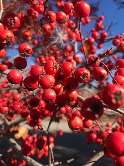 Close-Up Of Berries Growing On Branches