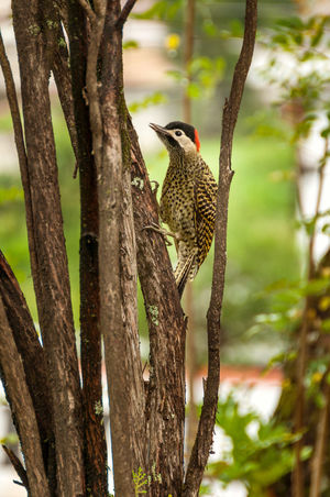 Birds Of EyeEm  Tronco Animal Themes Animal Wildlife Animals In The Wild Beauty In Nature Bird Bird Of Prey Branch Day Nature No People One Animal Outdoors Perching Tree Tree Trunk Woodpecker Woodpecker In Tree Woodpeckers