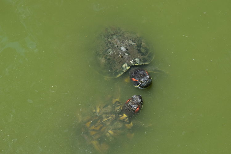 High angle view of turtles swimming in lake