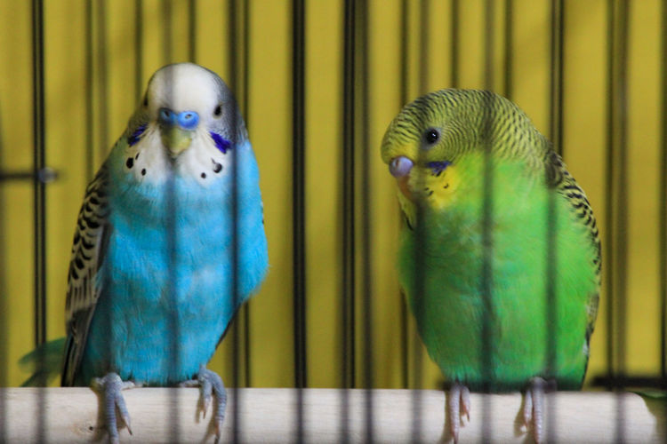 View of parakeets in cage