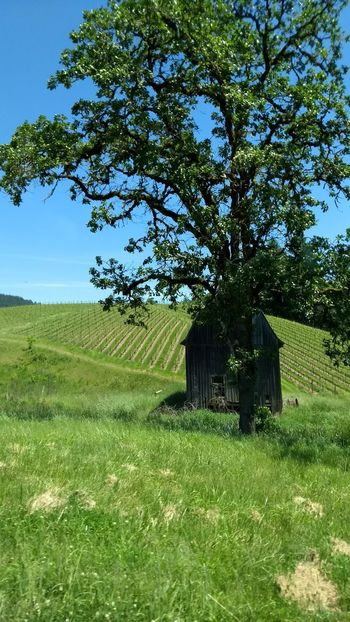 Tree Field Green Color Nature Growth Outdoors Grass Agriculture No People Day Landscape Beauty In Nature Rural Scene Scenics Sky Oregon Beauty Tranquil Scene Old Barn Collection Green Color Beauty In Nature Oak Tree Vineyard Shady Trees