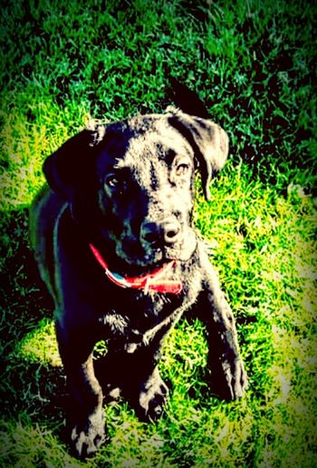 Sick As A Dog, When Dukecwas still a young pup a neighborhood cat scratched him on his nose and got a staff infection that made him very ill. He is fine now,but lost alit of weight during this illness . Puppy, Sickpuppy, Black Labrador , Dog Life , Doglover