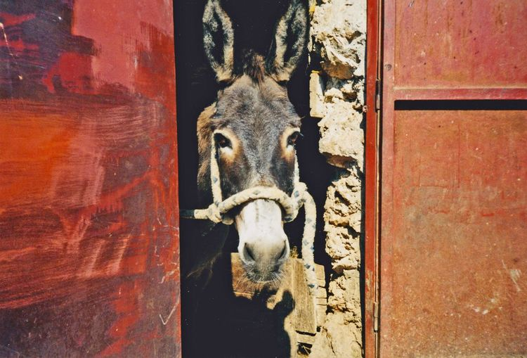 Portrait of donkey in stable