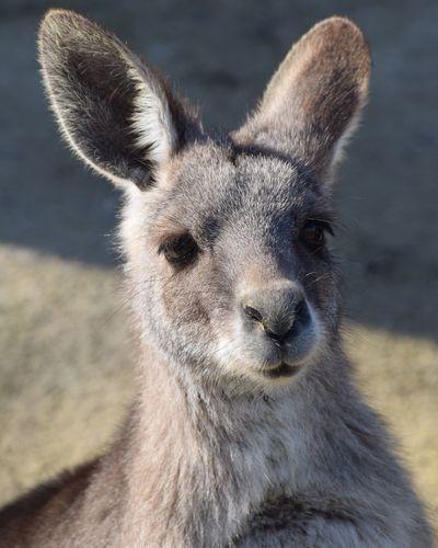 kangourou Kangouroux Kangourous Kangourou Kangouroustyle Prilaga Beautifull