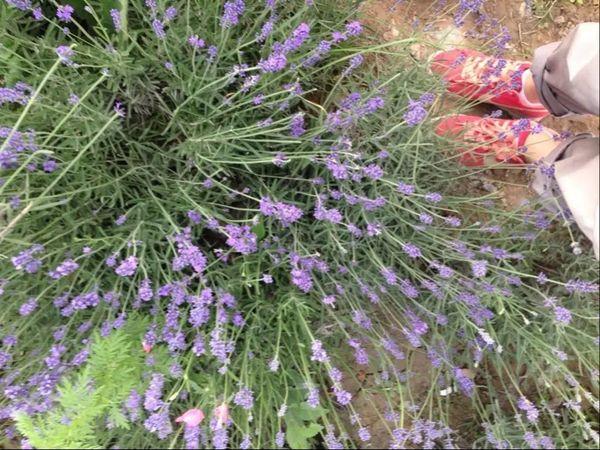 薰衣草lavenders