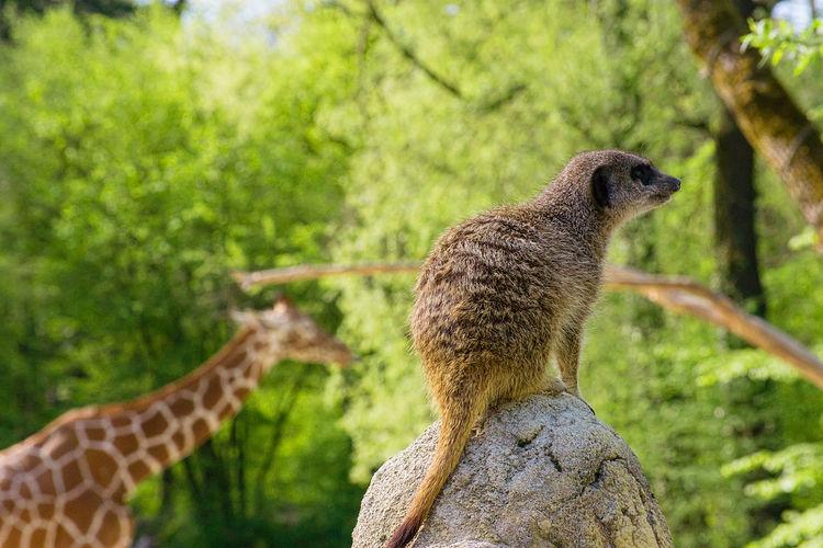 Side view of a giraffe