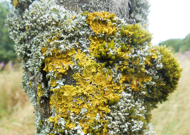 Lovely lichen in Tandlehill park, Oldham, UK. Abundance Full Frame Growing Lichen Lichen On A Tree Oldham Selective Focus Tandlehill Park Yellow