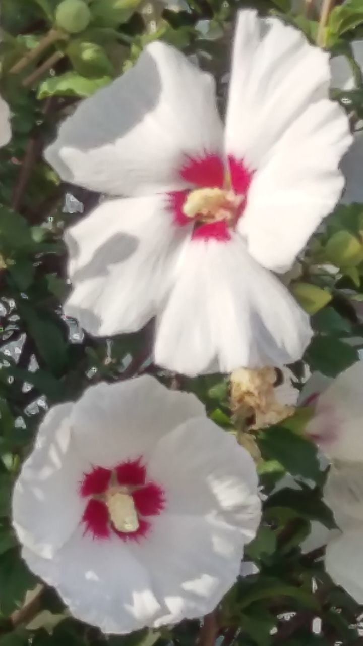 flower, petal, white color, flower head, fragility, beauty in nature, freshness, nature, hibiscus, no people, pollen, growth, stamen, close-up, red, plant, day, outdoors, blooming