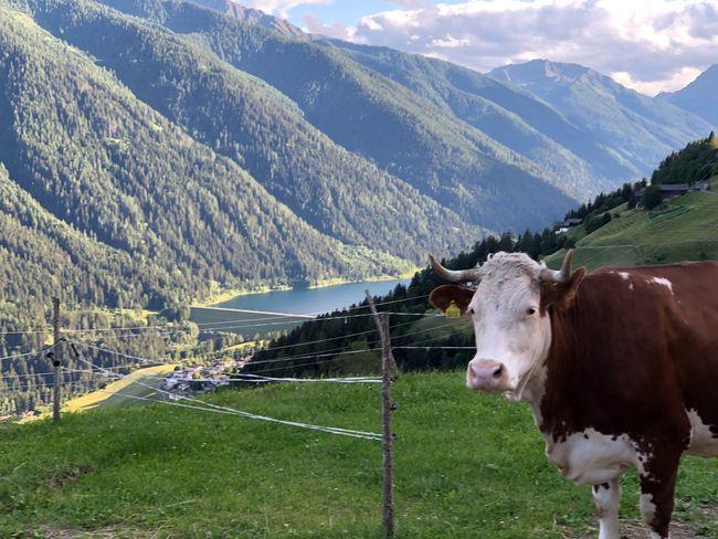 Happy Tuesday, dear friends😀🌼 Cow Ultental Südtirol South Tyrol Alto Adige Italien Italia Italy Mammal Domestic Animals Mountain Domestic Animal Themes Livestock Animal Environment Mountain Range Land Landscape Beauty In Nature Cattle Field Grass
