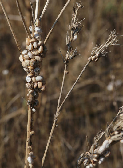 many small snails clinging to the dried plant near the beach of the Mediterranean Sea Escargot Herb Sicilia Small Business Snail Animal Bovoletti Bovoletto Dried Plant Farming Fauna Food Heliciculture Heliculture Parassiti Pants Sardegna Small Snail Farming Typic Veneto Venice