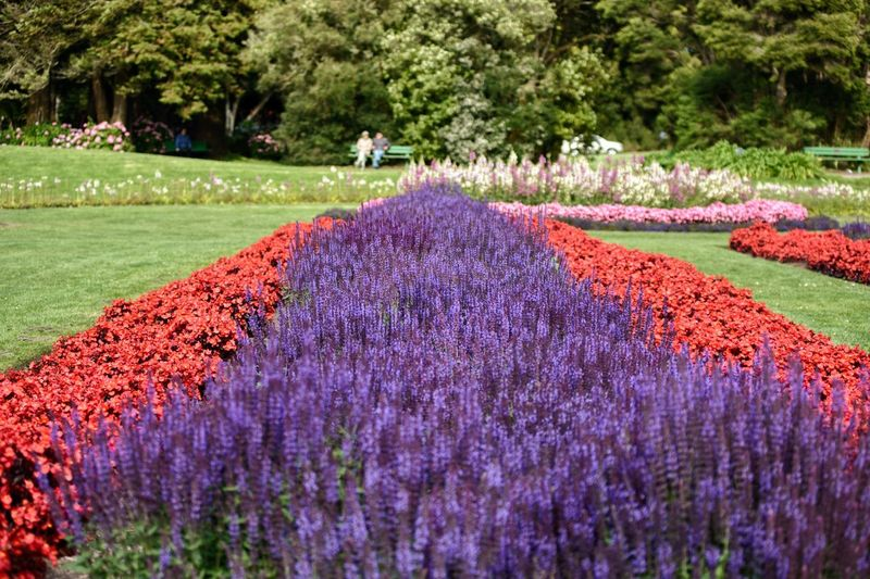 Panoramic view of purple flower trees on field in park