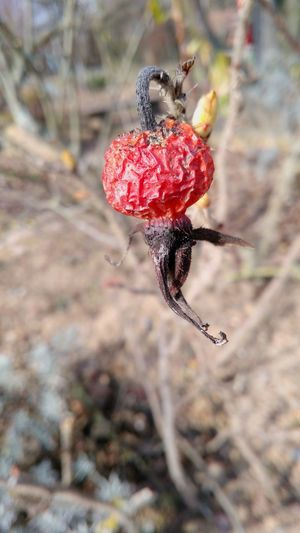 Red Red Color Brown Brown Color Nature Nature_collection Plant Life Smart Phone Smartphonephotography Germany Detail Rose - Flower Rose Hip Rose Hips Winter Plants Red Fruits Fruits Lenovo P2 Winter Animals In The Wild Nature Red No People Day Beauty In Nature Close-up Outdoors