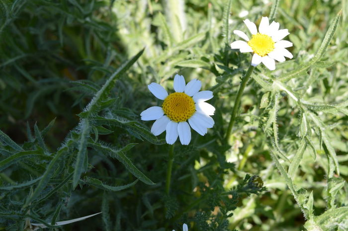 Beauty In Nature Blooming Casual Day Close-up Daisy Flower Flower Head Flowers And Plants Focus On Foreground Fragility Freshness Green Color Growth In Bloom Nature Nature Petal Plant Plants Plants And Flowers Pollen Stem White Flower White Flowers Yellow