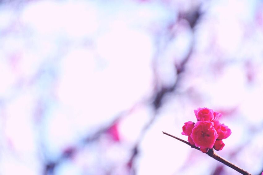 jpese apricot Japanese Apricot Ume Red Lovely Eyemphotography Showcase March Fine Art Photography Capture The Moment Nikon Japan
