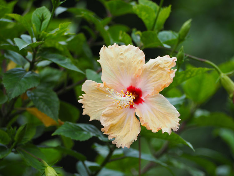 Yellow hibiscus flower on a green background. EyeEm Nature Lover Yellow Hibiscus Flower Background Background Texture Beauty In Nature Blooming Close-up Day Flower Flower Head Fragility Freshness Green Color Growth Hibiscus Hibiscus Flower Leaf Nature No People Outdoors Petal Plant