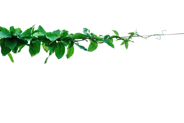 Close-up of ivy against white background