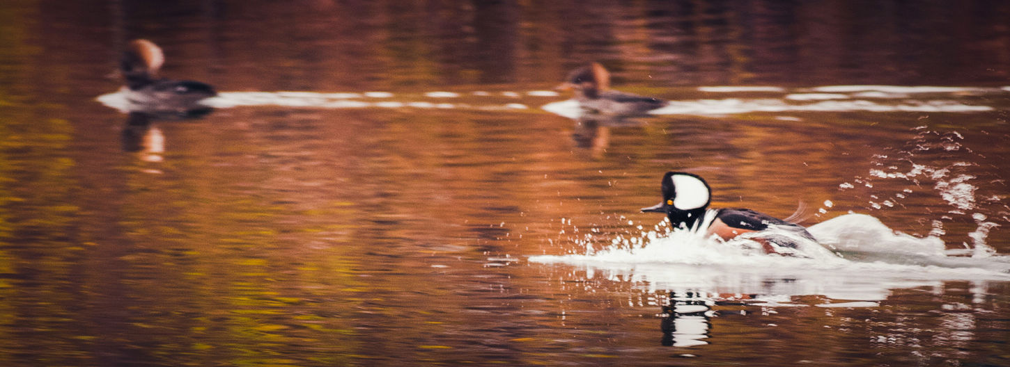 Reflection Animal Themes Hooded Merganser Animals In The Wild Riverbank Riverside Photography Wildlife & Nature My Point Of View Water Bird Beauty In Nature Autumn🍁🍁🍁 Beautiful Nature Sunsetting On Water Autumn Colors Wildlife Photography Wildlife Birds Waterfront EyeEm Nature Lover Animal Photography Animal Wildlife