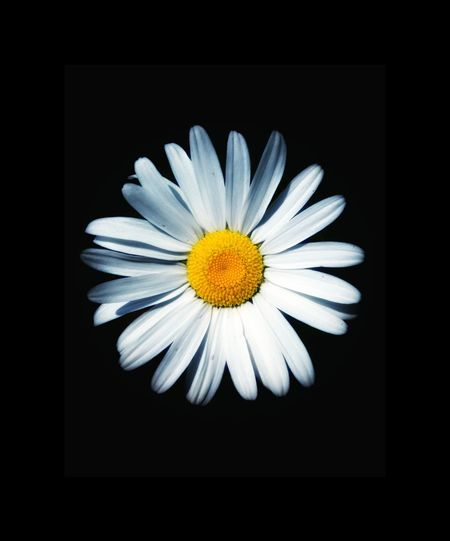 Flower Black Background Flower Head Yellow No People Close-up Summer Freshness