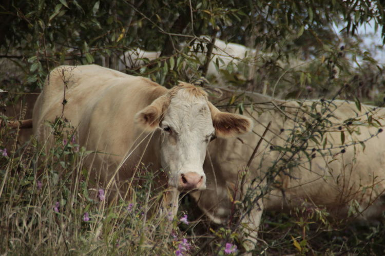 Cattle grazing in forest