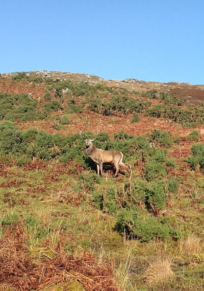No People Stag Handsome Chap More Hiding How Many Can You See Whitebridge Rutting Season Scotland Scottish Highlands