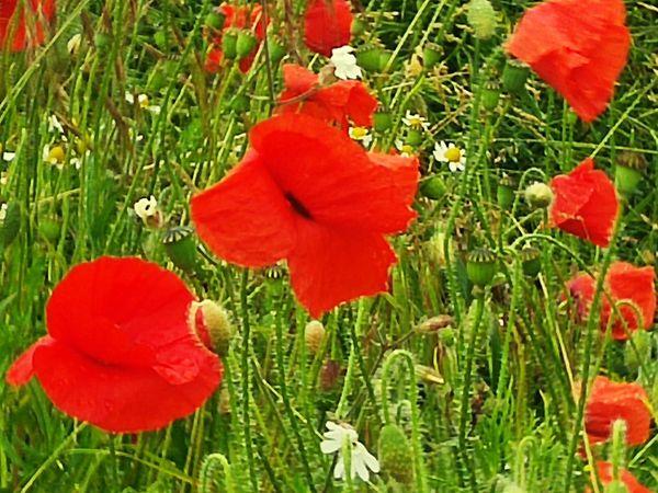 Popies Coquelicotssauvages Coquelicot Flowers,Plants & Garden Wildlife & Nature EyeEm Nature Lover