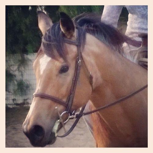 My pretty princess, she is coming along so well! Quarterhorse Buckskin Futurebarrelhorse