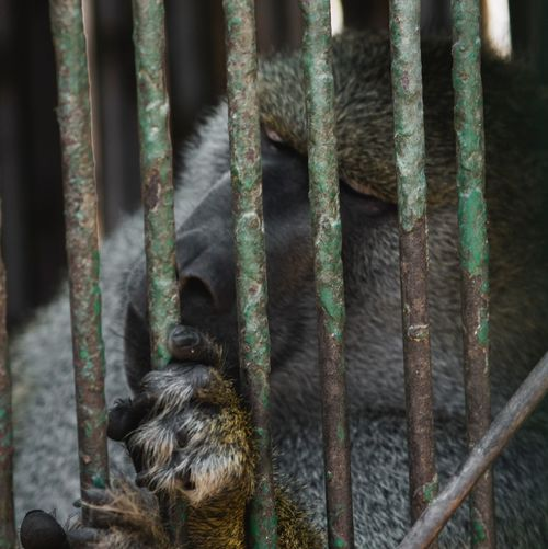 Cage Zoo Animal Themes One Animal Animals In Captivity Mammal Trapped Animal Wildlife No People Monkey Day Animals In The Wild Close-up Chimpanzee Nature Outdoors Prison EyeEm Ready