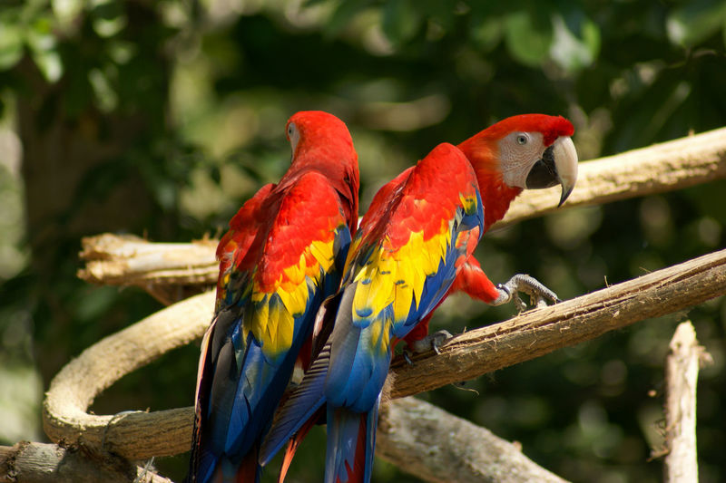 Parrots perching on branch
