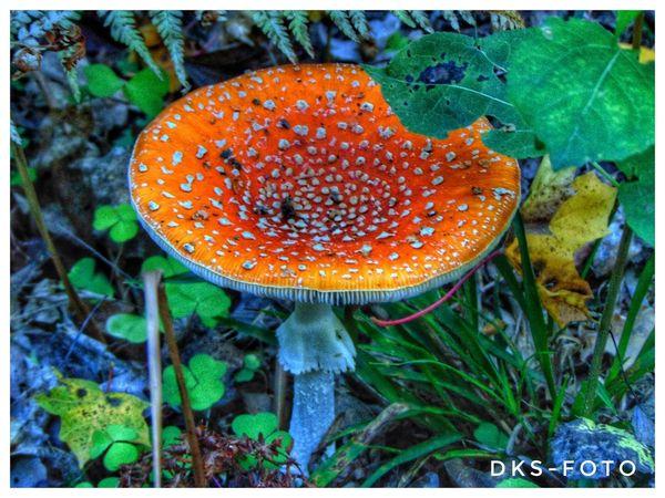 Sweden The True Story Fly Agaric Mushroom Toadstool Fungus Mushroom UnderSea Leaf Close-up Plant
