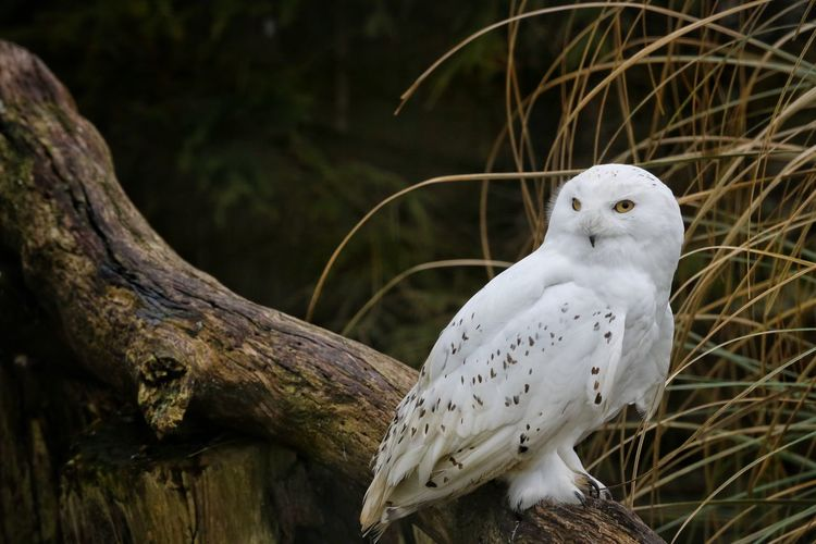 Snowy Owl Perching On Tree Trunk