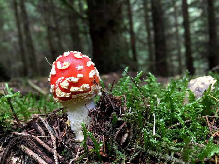 Spotted Colourful Rotkäppchen Toxic Mushroom Fungus Plant Growth Fly Agaric Mushroom Forest Land Tree Focus On Foreground Vegetable Beauty In Nature Red Freshness Poisonous
