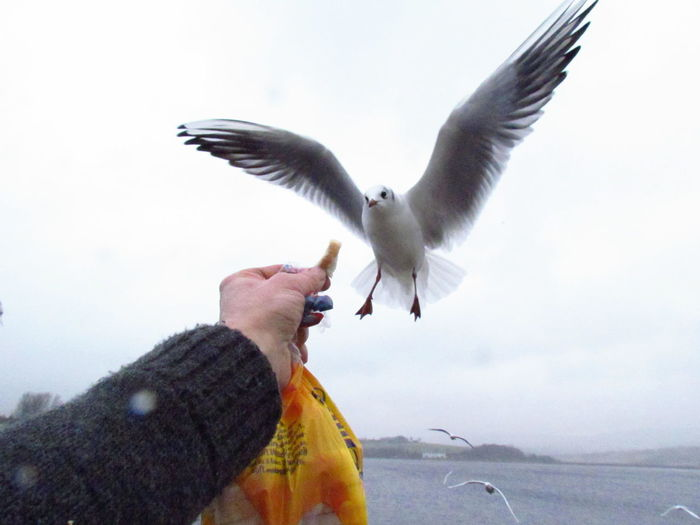 feeding time Gulls In Flight Gulls Feeding The Birds Feeding Birds Gulls Flying Human Hand Human Body Part One Person Bird Flying Real People People Spread Wings Animals In The Wild
