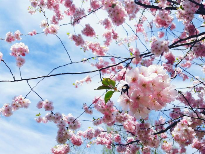Sakura Sakura Blossom Sakura Trees Cherry Blossoms Flower Blossom Growth Tree Beauty In Nature Branch Springtime Nature Fragility Pink Color Sky Low Angle View No People Cloud - Sky Day Outdoors Freshness Backgrounds Close-up Flower Head