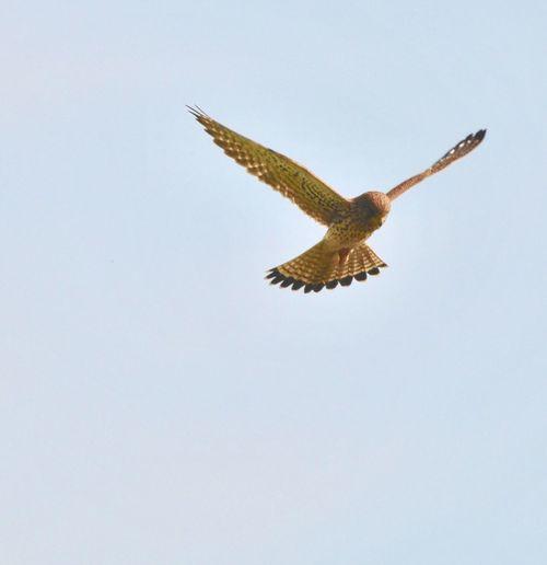 Falcon. Hunting 3629466