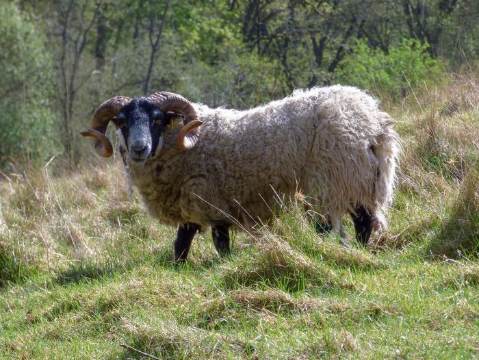 Curly horned ram Looking At Camera Horns Animal Animal Themes Mammal One Animal Plant Vertebrate Field Grass Livestock Land Nature Sunlight Standing Sheep
