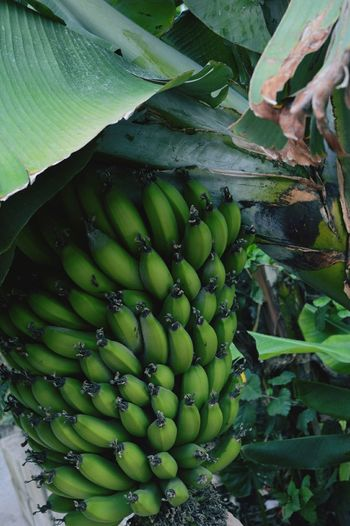 Bananas Nature Mexico Y Su Naturaleza Bananatree Yeah Springtime! Taking Photos Color Palette Color Of Life Fruit Tree Plant Fruits Photography Tree