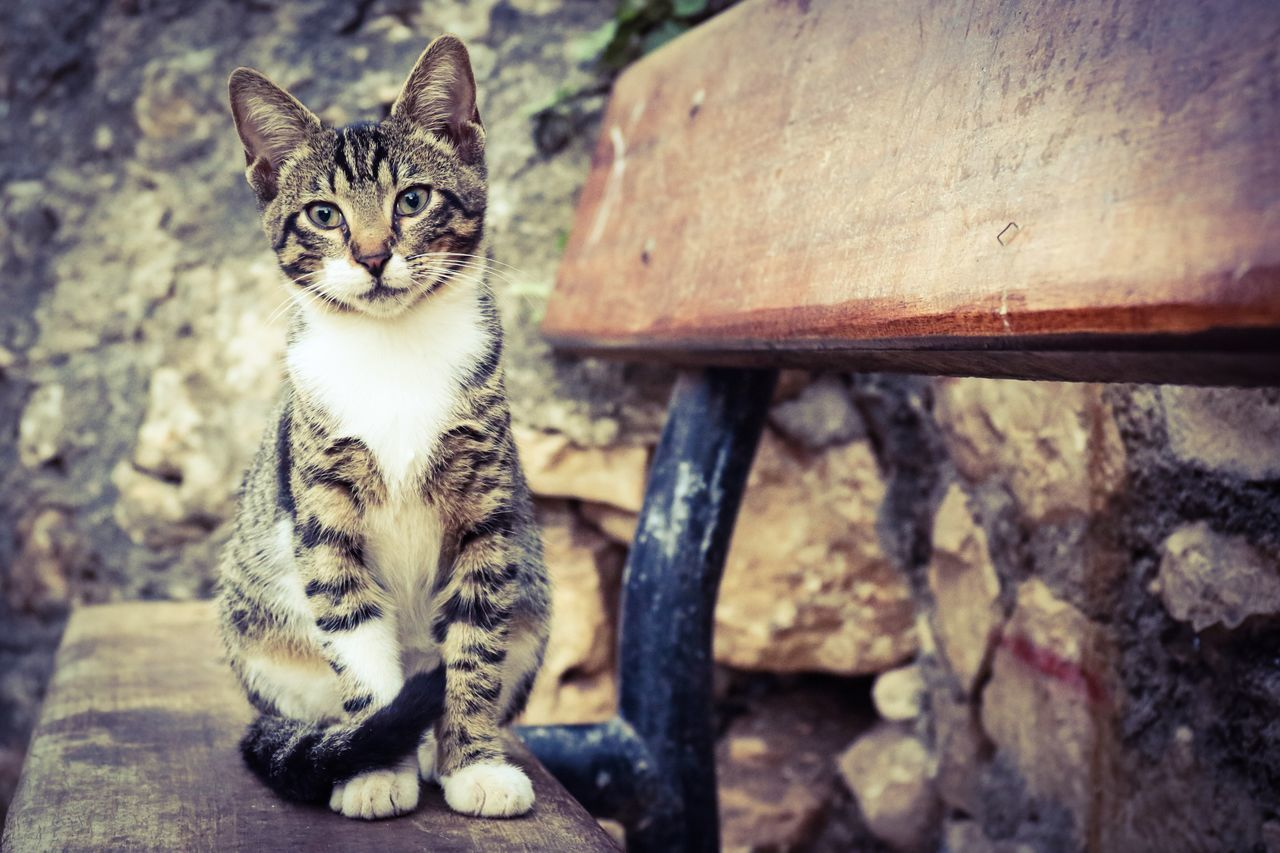 domestic cat, animal themes, pets, one animal, feline, looking at camera, domestic animals, portrait, cat, mammal, sitting, no people, day, outdoors, kitten, close-up