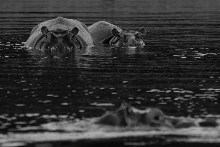 Close-Up Of Hippos In Water