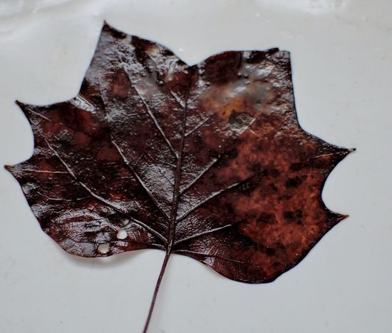 Leaf Close-up Brown Reddish Reddish Brown Moist No People High Angle View White Background Fragility Studio Shot Autumn Nature Cold Temperature Maple Indoors  Day