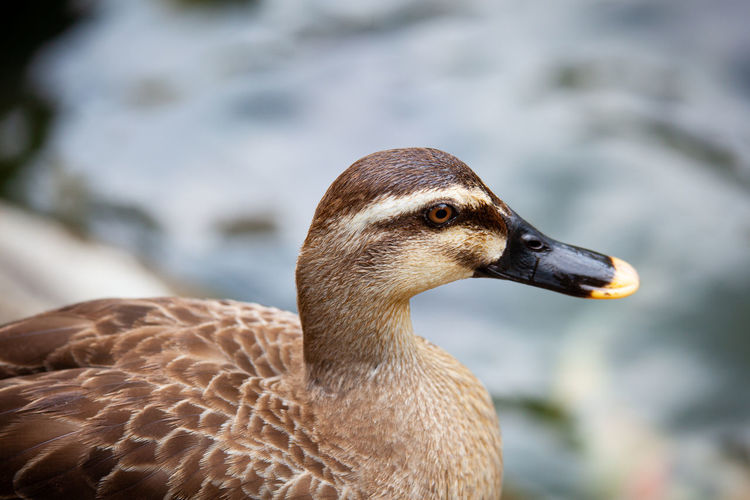 Close-up of a duck