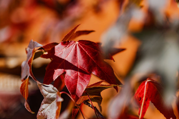 Close-up of dry maple leaves