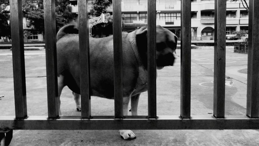 The Street Photographer - 2015 EyeEm Awards Black And White Dogstagram Street Dog Dog Life Caged Freedom What Does Freedom Mean To You? Dog Days Huge Dog Monochrome