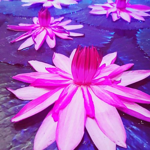 Flower Pink Color Petal Water Beauty In Nature Purple