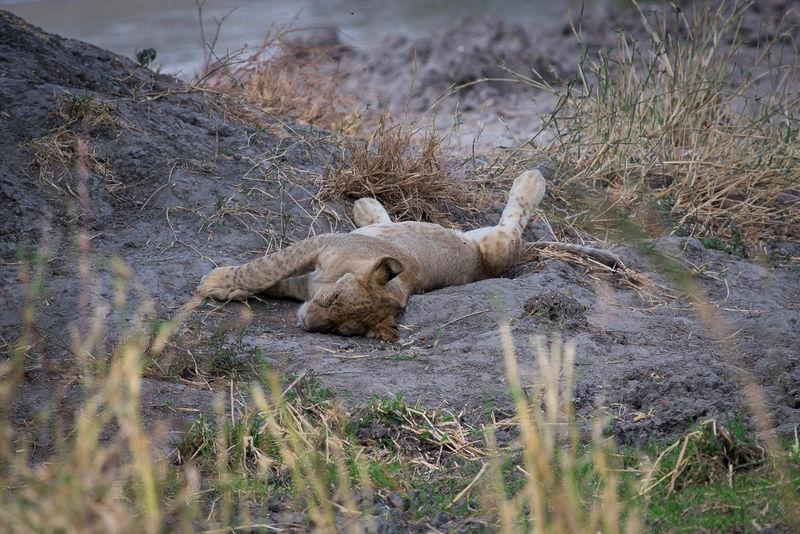 Animals In The Wild Animal Themes One Animal Animal Wildlife Tarangire National Park Tarangire EyeEmNewHere Nature Tansania FUJIFILM X-T1 Bigcats Tanzania Tanzanianationalparks Safari