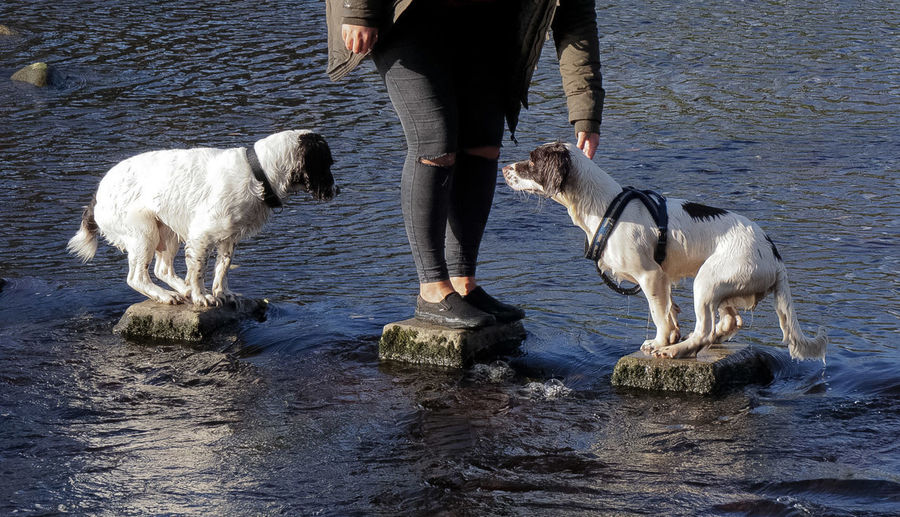 Doggy biscuits or swim? Your choice..... Balancing Stepping Stones Across Pond. Spaniels That Hate Water Watershy Spaniels Real People Adult Togetherness Domestic Animals Pets Low Section Dogs Of EyeEm The Week On EyeEm Bolton Abbey Two Spaniels Pet Domestic Animal Standing Comical Funny Ha Ha