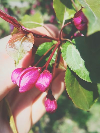 Plant Nature Close-up Human Hand Tree Beauty In Nature Freshness Beauty Reshasuper Botany Freedom Love Flower Top No People Followme Green Color Pink Color EyeEm Apple Tree